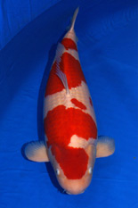 The 41st Superior Male Koi Division Overall Champion