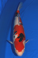 The 41st Adult Koi Division Overall Champion