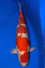 The 41st Mature Koi Division Overall Champion