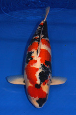 The 41th Jumbo Koi Division Overall Champion