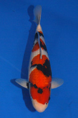 The 41st Young Koi Division Overall Champion