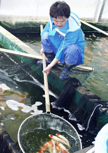 Mr. Kawakami working at the Koi farm