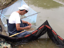 Mr. Kawakami selecting and sorting at a field pond